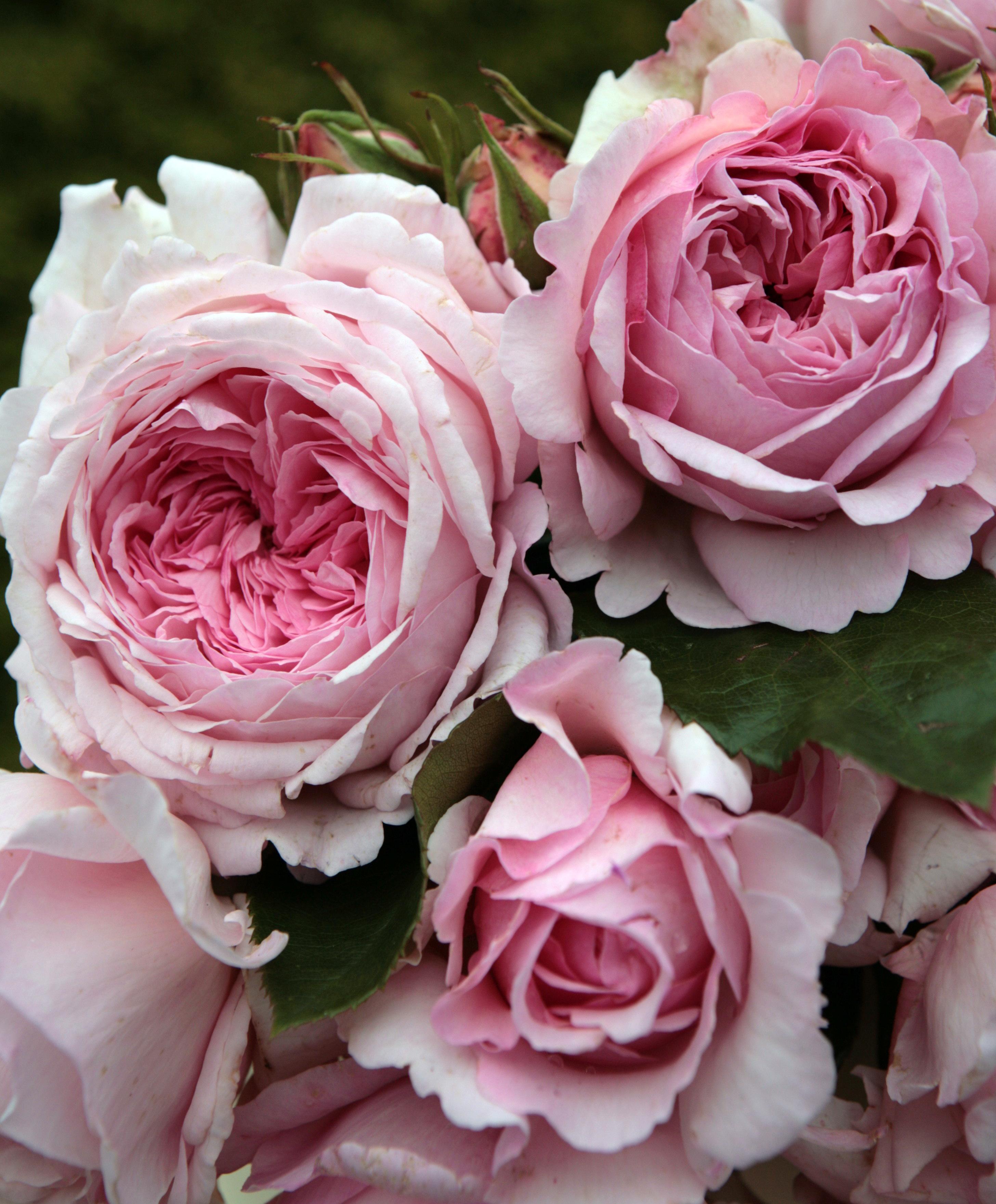 Розы люксембург по английски 5
