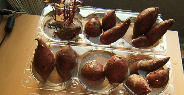 Patate douce - Quand recolter les patates douces ...