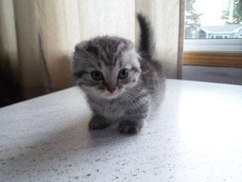 Chatterie alexchat - Prix chat munchkin ...