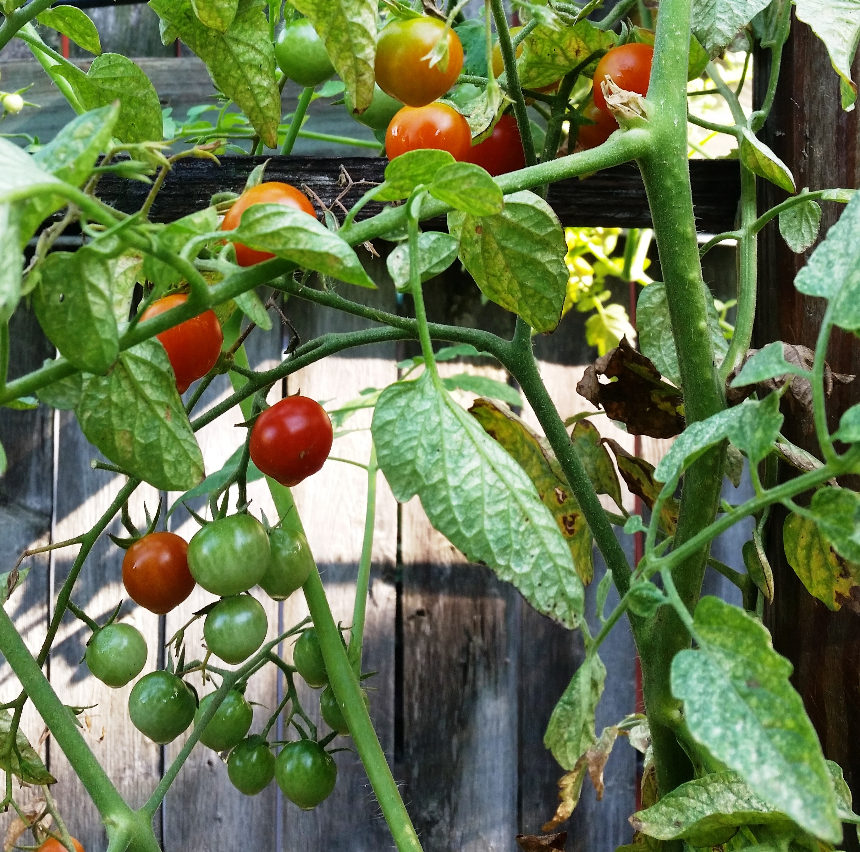 Grassroots Neighborhood Eatery - home page | Janssen Farms tomatoes on ...