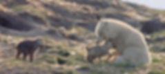 loups-blancs-fantomes-de-l-arctique.jpg