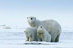 L'Arctique américain, un refuge en péril