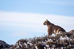 Le puma, légende des montagnes de glace