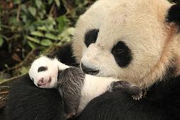 Panda : Le retour à la nature