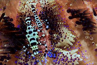 Arthropoda Crustaceans