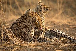 Olimba, la reine des léopards