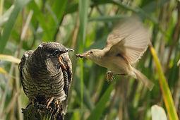 Une nature sauvage accidentelle ou l'Everglades européen