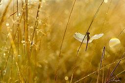 L'appel des libellules