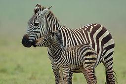 Mawindo : Le grand drame du Serengeti