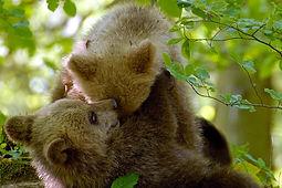 Les ours des Karavanke