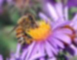 Pcela_na_cvijetu.jpg