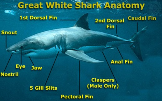 Anatomy of a great white shark | fishysharknews