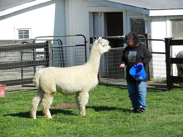 Alpacas Love Knitters