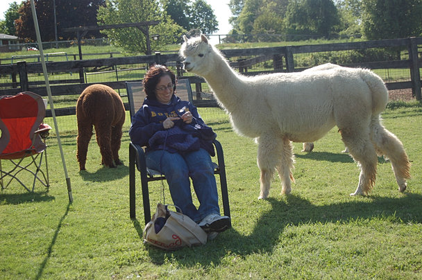 Knitting With the Alpacas