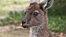 Kangaroo cu