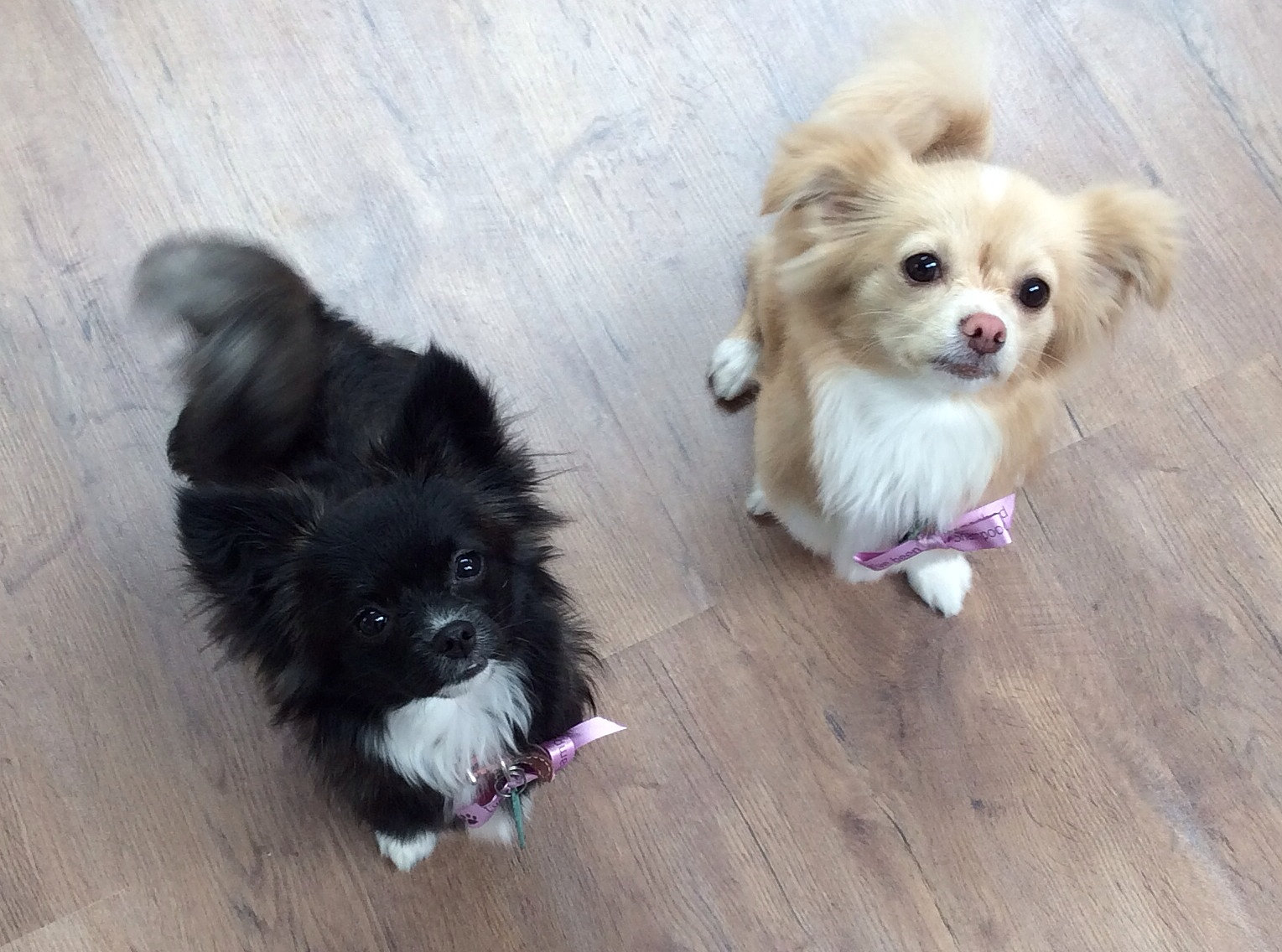 Shampooch Dog Grooming Salon, Scarborough | Chihuahua x Lhasa Apso