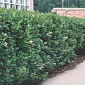 Wax Leaf Ligustrum