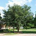 Live Oak