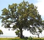 Laurel Oak