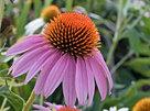 Cone Flower (Echinacea)