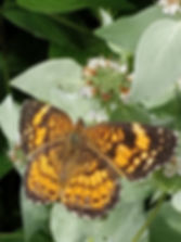 Silvery Checkerspot 25 June 2019 (8).jpg