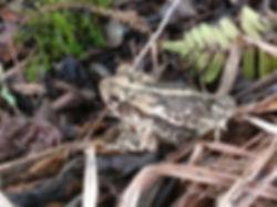 Gulf Coast Toad 20 June 2018.jpg