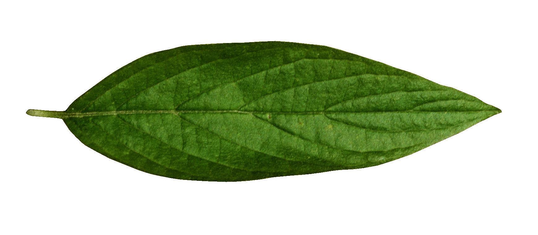 Форма листя дерев фото 13 фотография