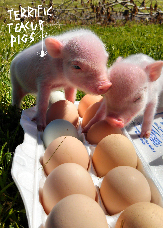 2 piglets eggs.jpg