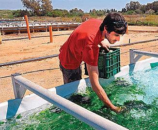Sea-Lettuce