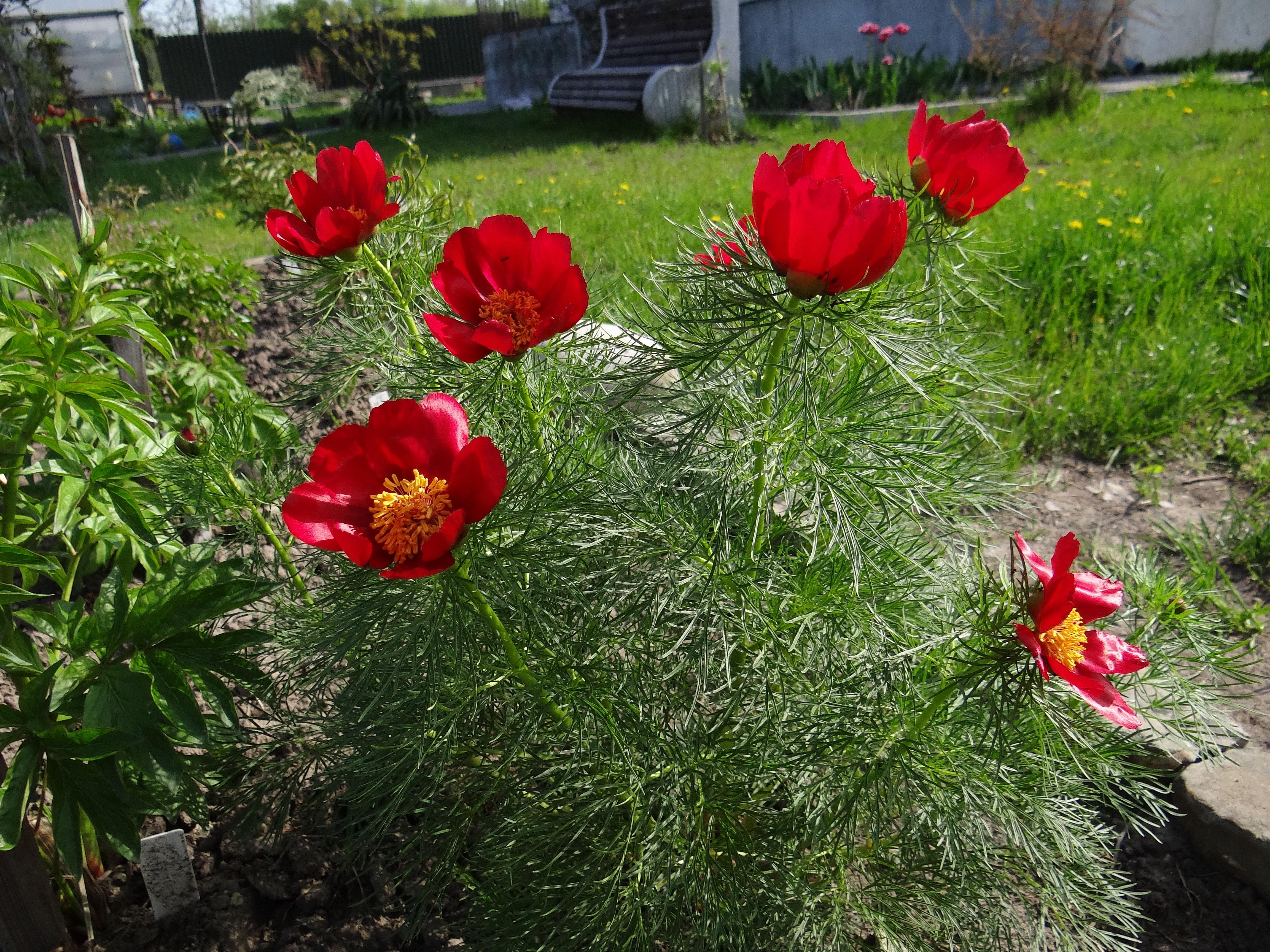 Сад ірисів Ірини Лукавої | Півонія тонколиста (