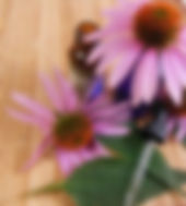 SP Echinacea_tincture.jpg