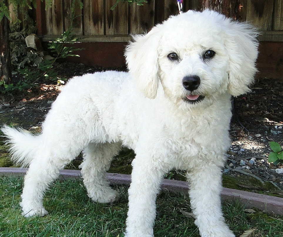 Havapoo also Toy Poodle furthermore My Next Dog likewise 161496336613468885 furthermore Teacup Poodle Breeders Ga. on standard poodles for adoption
