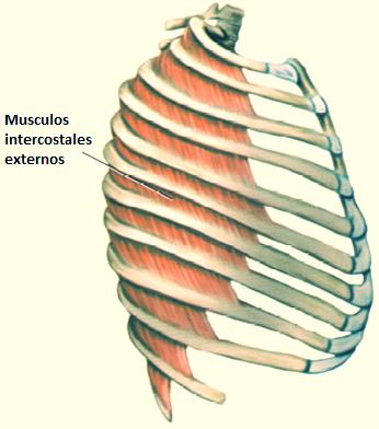Músculos Intercostales Externos | iinmed