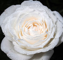 Princess Miyuki FIrst Snow Garden Rose Single