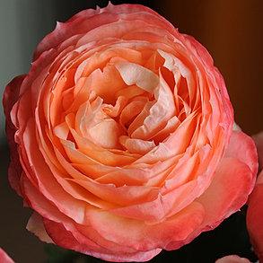 princess japanse garden roses