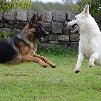 German Shepherd, Dog Training, Behavioural Advice, Behaviour Consultations, Aggression in Dogs,