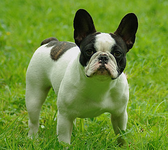 French bulldog puppies for sale ireland