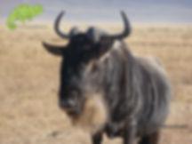 Wildebeest in Ngorongoro Crater, Tanzania & Kenya Safari, OTA - Overland Travel Adventures