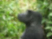 Gorilla trekking in Bwindi Impenetrable Forest, Uganda, safaris