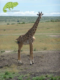 Giraffe in the Masai Mara, Wildlife Wonder, OTA