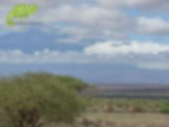 Giraffes frolic before Mt Kilimanjaro in Amboseli, Nairobi to Mombasa Safari, OTA - Overland Travel Adventures