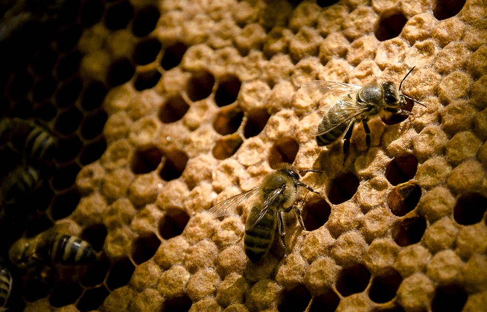 pszczoly na plastrze
