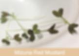 mizuna red mustard, microgreens, ibizad