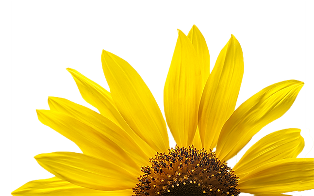 bloomingyellowsunflowersonawhitebackgrou