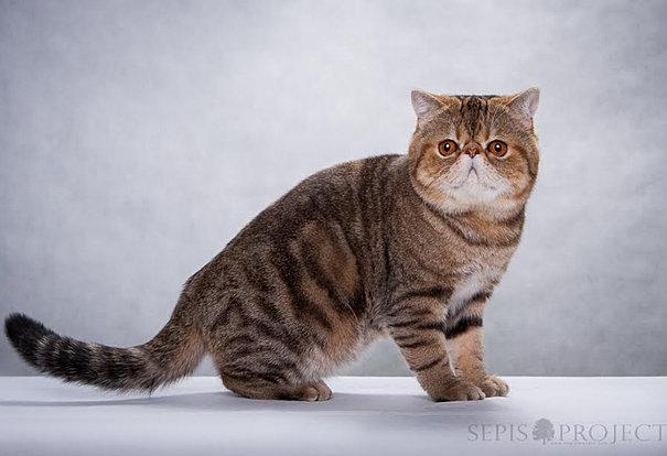 BIS kitten, Zandar Jaguarundi, exotic cat, kot egzotyczny
