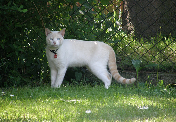 Hello Sweety Cattery, Egipski Mao, egyptian mao,kot MIetek, hodowla kotów
