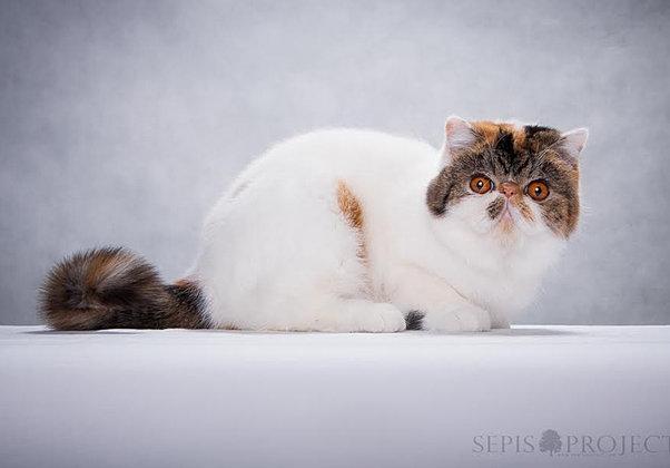 kotka egzotyczna, kotka calico, exotic cat,exotic kitten,cat show, pedigree kitten Astoria Hello Sweety, Astoria Zanzarah