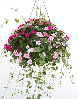 how to grow impatiens in hanging baskets