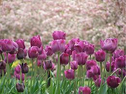 tulip pink.JPG