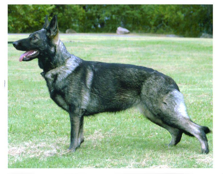 ... Breeder of Black and Silver German Shepherd Dogs Tulsa, Oklahoma